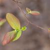 Vaccinium sp., blueberry. emerging leaves -Peter Schubert