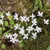 Houstonia caerulea, bluets, Quaker Ladies -Peter Schubert