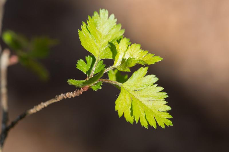 Crataegus marshallii, parsley hawthorn, emerging leaf detail -Peter Schubert