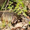 Kinosternon subrubrum, eastern mud turtle