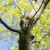 Dryocopus pileatus, pileated woodpecker