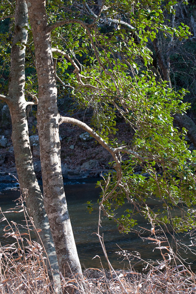 Holly tree, West Point on the Eno<br /> best print size - 8x12 or 12x18