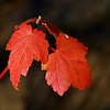 Maple Leaves, West Point on the Eno<br /> best print size - 8x12 or 12x18