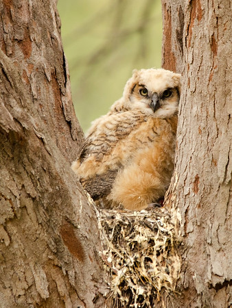 Baby Owlet in Fort Desoto