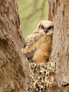 Baby Owlet in Fort Desoto