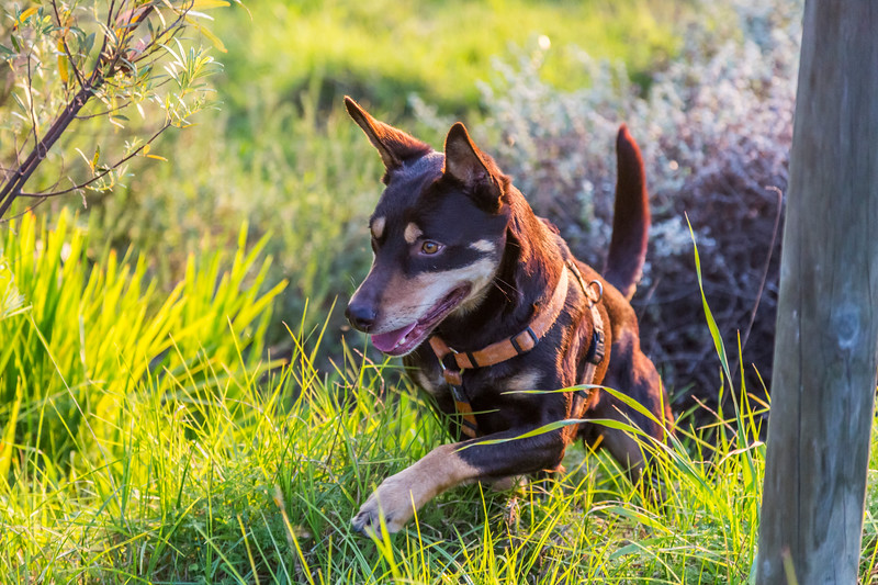 Australian Kelpie Jumping over grass