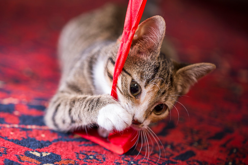 Kitten Playing with Red Lint