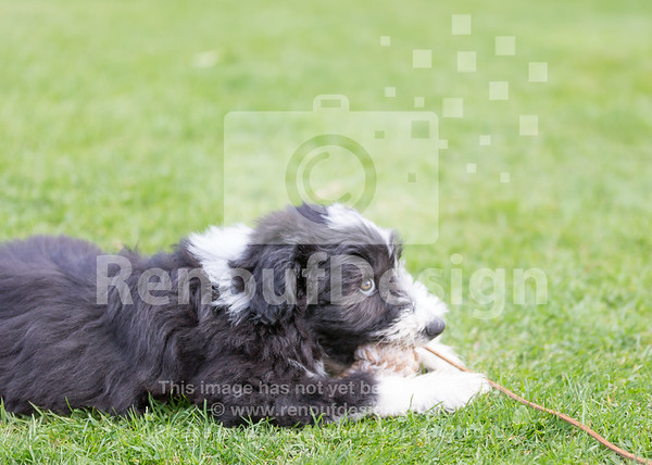3 Bearded Collie