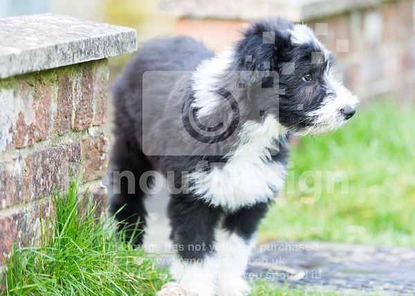 9 Bearded Collie