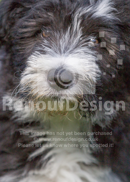 1 Bearded Collie