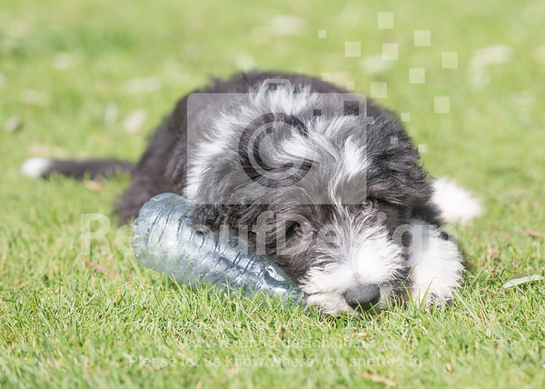 14 Bearded Collie