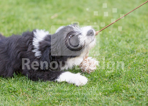 7 Bearded Collie