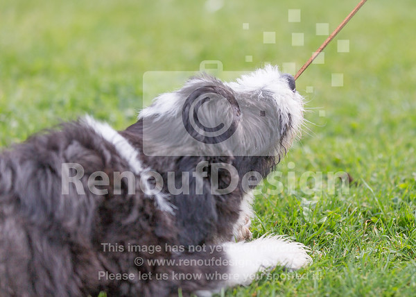 5 Bearded Collie
