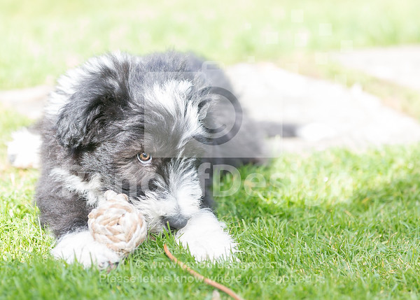 13 Bearded Collie