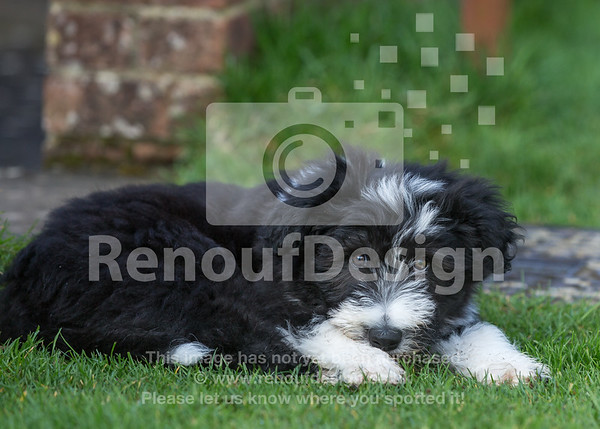 10 Bearded Collie