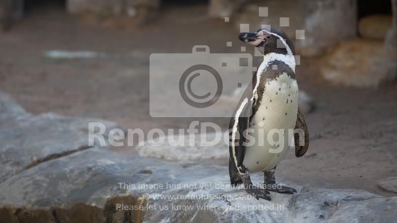 Pick a penguin 11