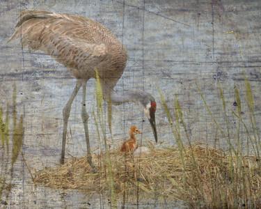 Sandhill Crane tending the nest