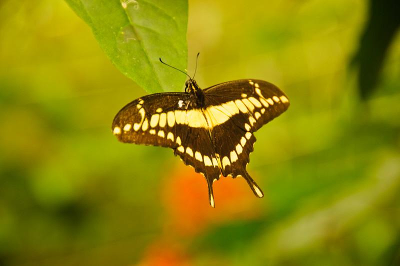 Butterflies-30