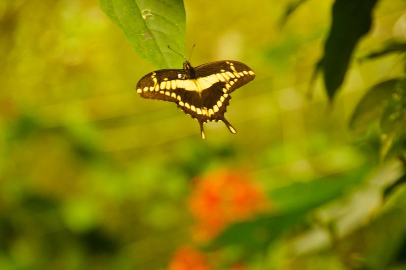 Butterflies-28