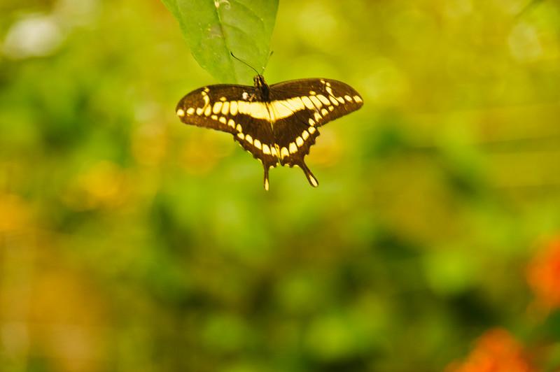 Butterflies-29