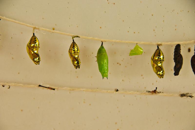 Butterflies-12