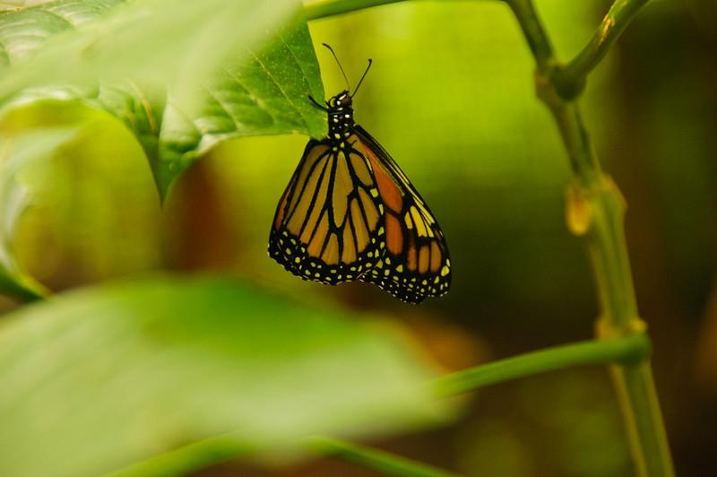 Butterflies-25