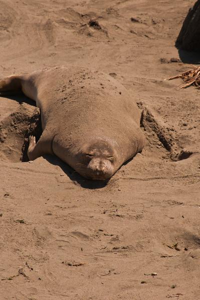 Elephant Seals (8 of 11)