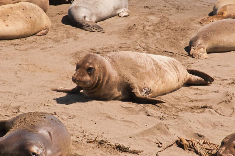 Elephant Seals (11 of 11)