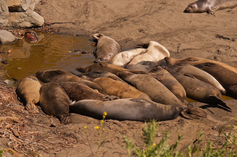 Elephant Seals (10 of 11)