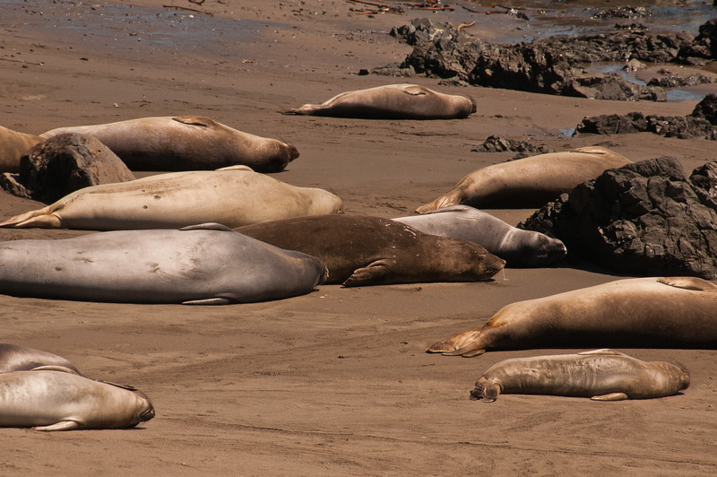 Elephant Seals (4 of 11)