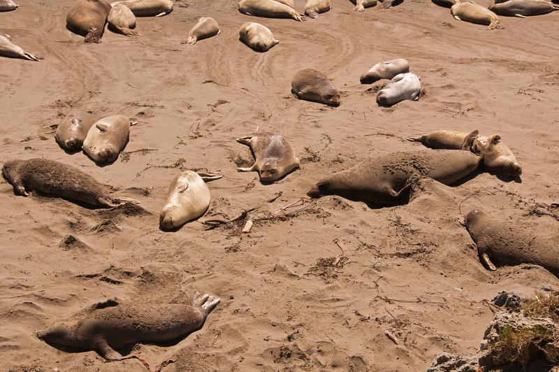 Elephant Seals (7 of 11)