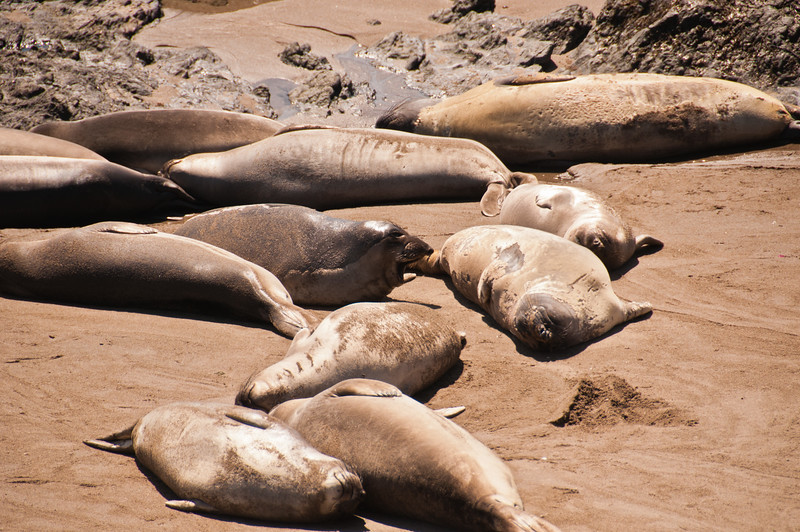 Elephant Seals (3 of 11)