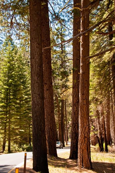 Trees in Yosemite