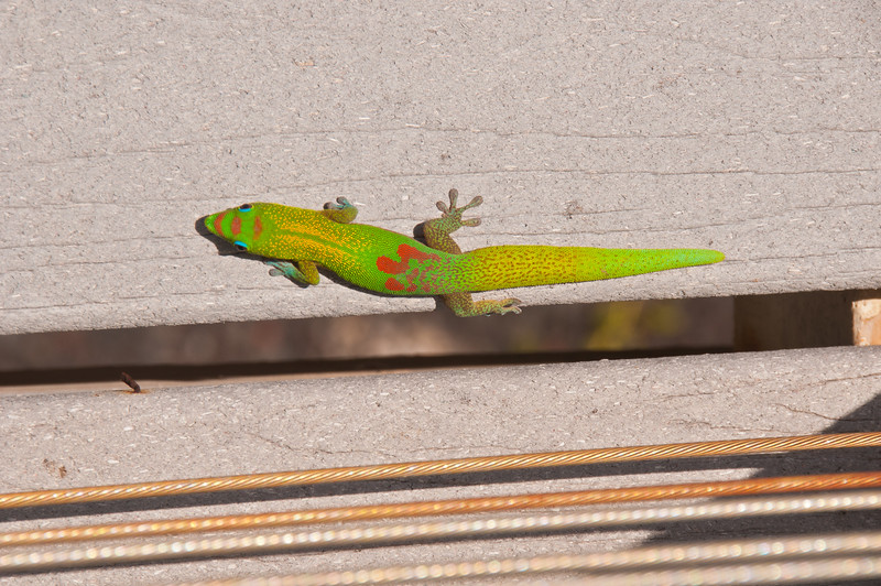 Gecko (2 of 2)