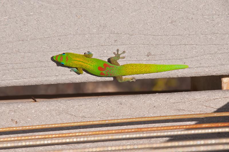 Gecko (2 of 2)