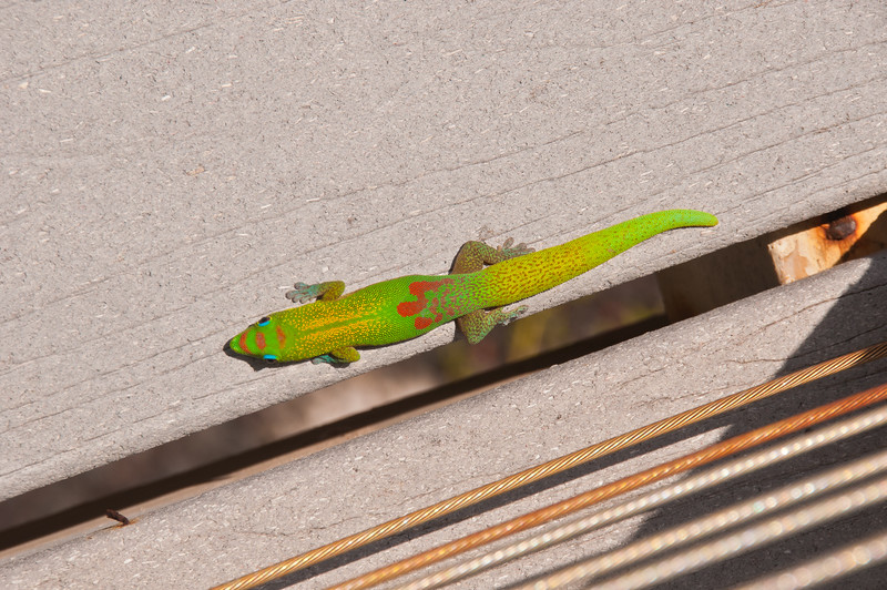 Gecko (1 of 2)