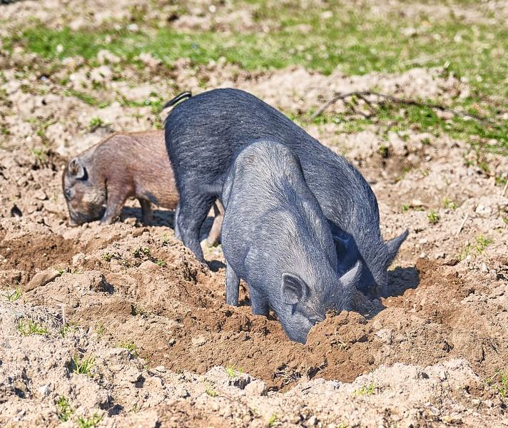 Pigs in the Via Vicinale Pignatiello