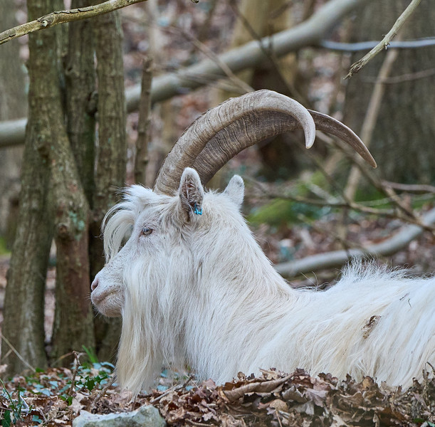 Goats in the Gulley