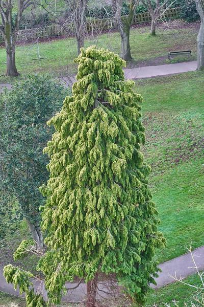 Tall cypress