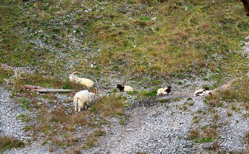 New Goats in the Gulley
