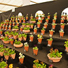 2010-May-08-Malvern spring flower show-28