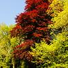 Copper Beech at Westonbirt Arboretum