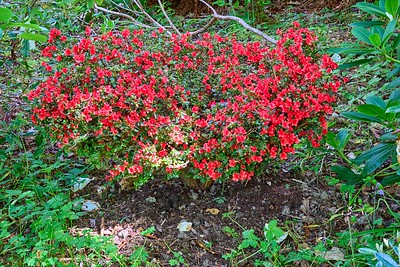 Near Ullapool - Leckmelm gardens - red azalea
