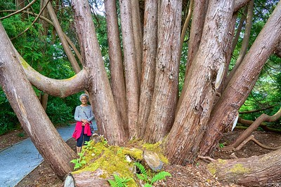 Near Ullapool - Leckmelm gardens - many stremmed Hilba tree