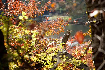 Autumn heron