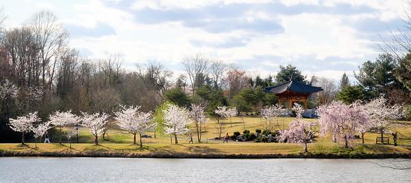 Meadowlark Gardens cherry blossoms