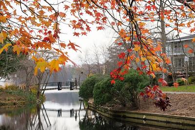 Lake Anne maple