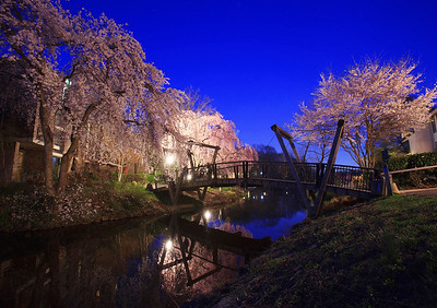 Lake Anne cherry blossom evening