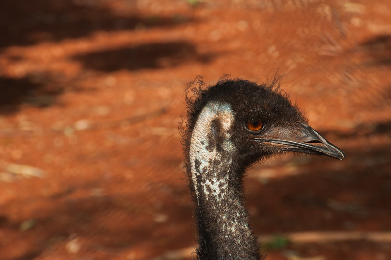 Tame emu at the refuelling stop