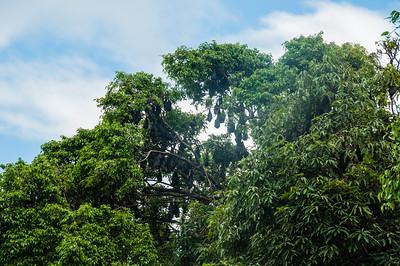 Fruit bats in Cairns